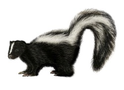 Skunks